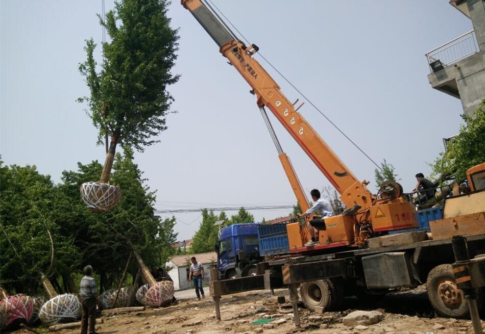 20公分好树形银杏树