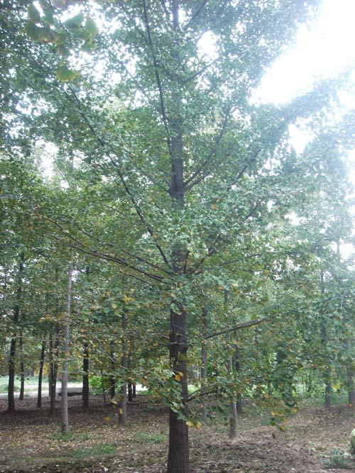 22公分好树形银杏树