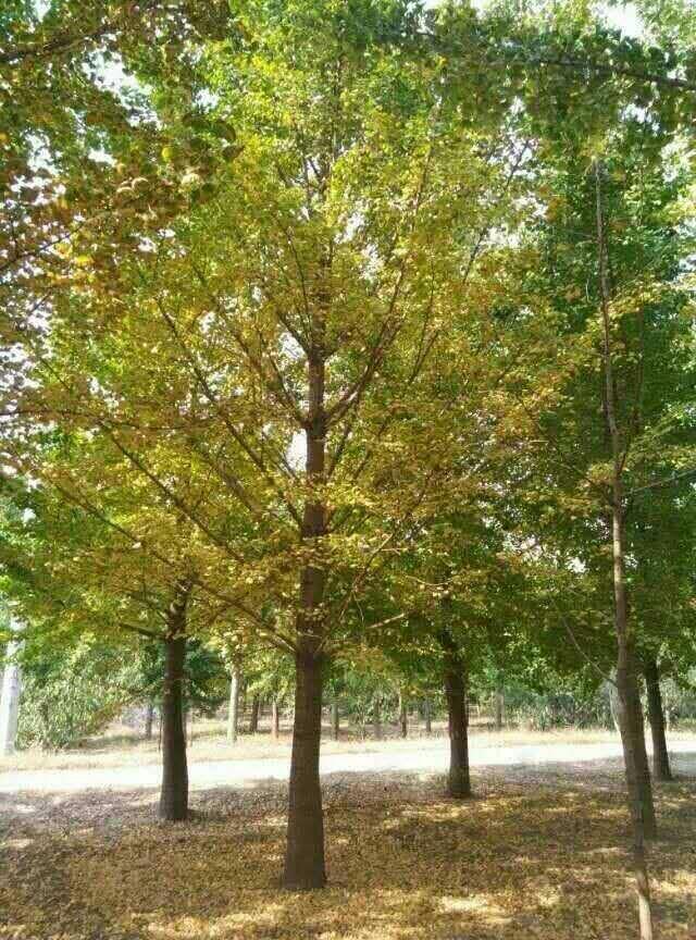 米径25公分精品银杏树