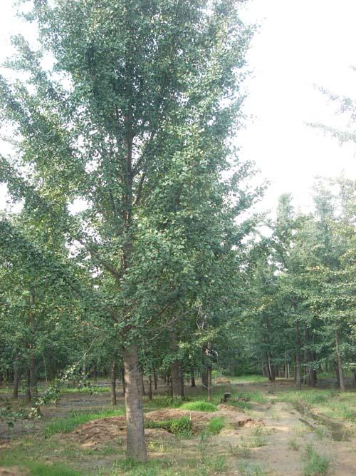 30公分精品银杏树