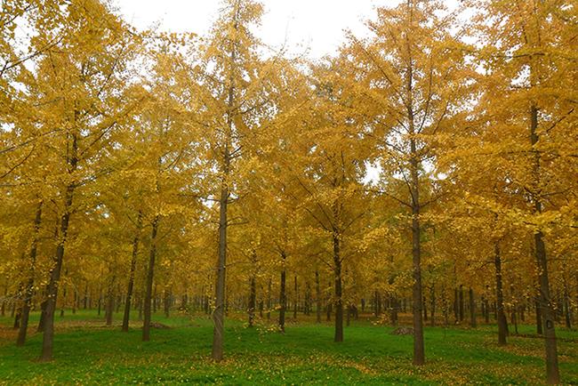 苗木基地里秋天的银杏树